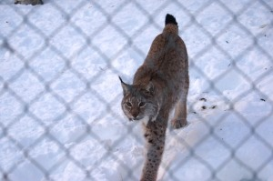 LUCHS! (Female)