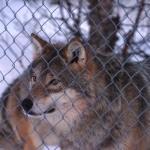 Wolf mit Wolf im Hintergrund