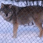 Wolf im Profil mit frontalem Kopf