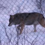 Wolf stapft durch Schnee (Und rutscht ab und an ab, aber davon gibt es kein Foto)